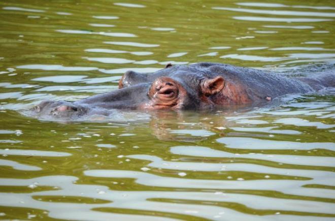 Ein Flusspferd in St. Lucia - Highlights auf meiner Südafrika