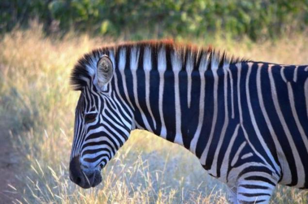 Zebra im Krüger Nationalpark in Südafrika