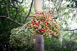 eine palme mit eichenartigen bunten fruechten in tulum