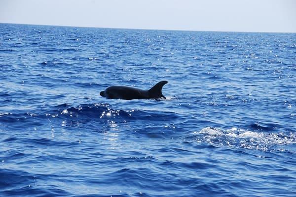 02_Delfin-Madeira-Atlantik