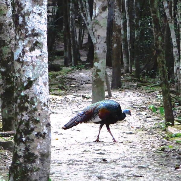 Biosphärenreservat Calakmul Mexiko Maya Hochburg Urwald Vogel