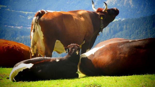 93_Fleckvieh-Kuehe-Alm-Seefelder-Joch-Tirol-Oesterreich