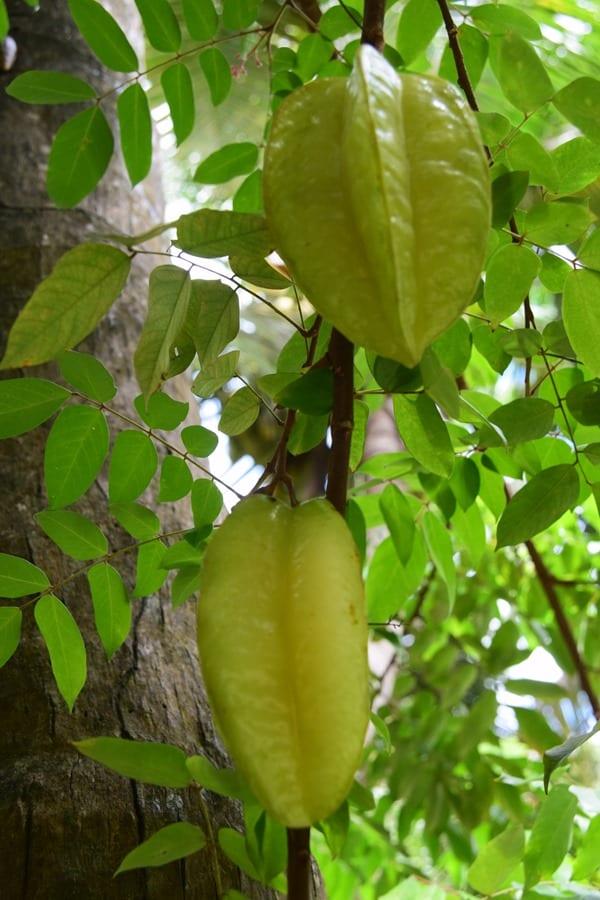 23_Sternfrucht-Vallee-de-Mai-Praslin-Seychellen
