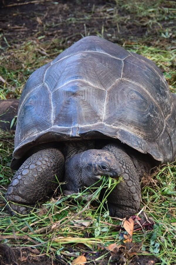 37_Riesenschildkroete-Praslin-Seychellen
