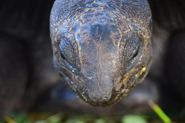 38_Nahaufnahme-Riesenschildkroete-Praslin-Seychellen