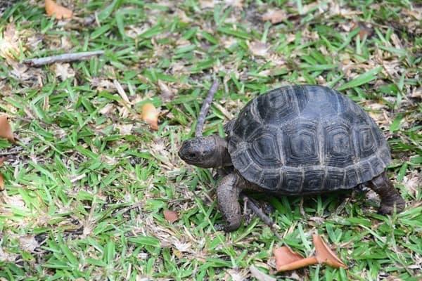30_Baby-Riesenschildkroete-Naturschutzgebiet-Marine-National-Park-Curieuse-Seychellen