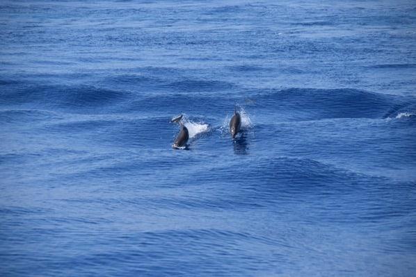 Whale Watching Delfine beobachten Pelagos Sanctuary Mittelmeer Ligurien Italien