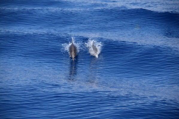 Whale Watching Delfine beobachten Kielwasser Pelagos Sanctuary Mittelmeer Ligurien Italien