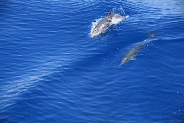 Whale Watching Delfine Pelagos Schutzgebiet Mittelmeer Ligurien Italien
