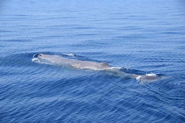 Whale Watching Walbeobachtung Pottwal Pelagos Sanctuary Mittelmeer Ligurien Italien