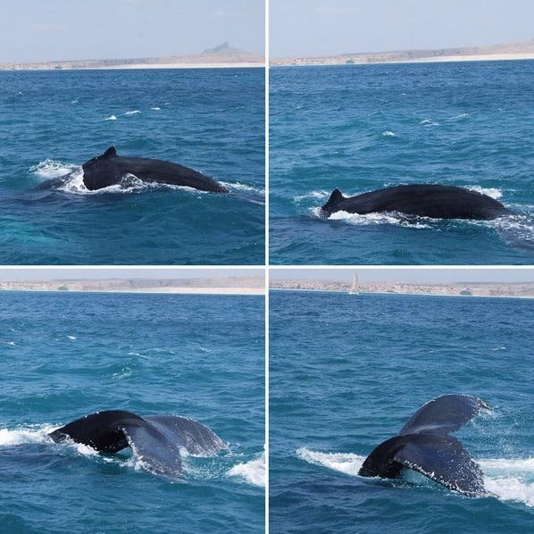 09_Buckelwal-Whalewatching-Boa-Vista-Kap-Verden-Atlantik