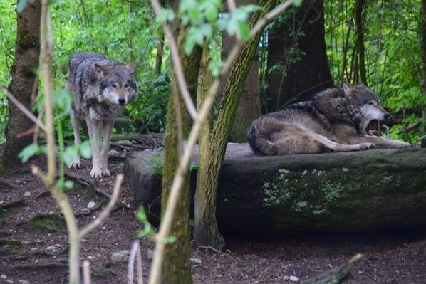 Maehnewolf Wolf Fotosafari Tierpark Hellabrunn Zoo Muenchen