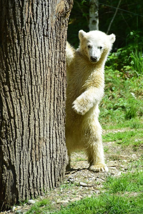 Eisbaeren Baby Quintana steht Fotosafari Tierpark Hellabrunn Zoo Muenchen