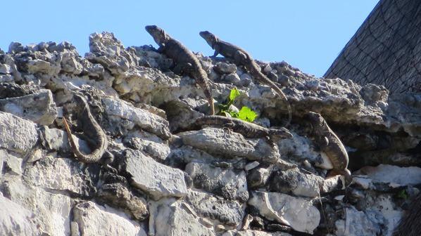 Tulum Mexiko Maya Tempel des herabsteigenden Gottes Leguane Ruine Yucatan Karibik