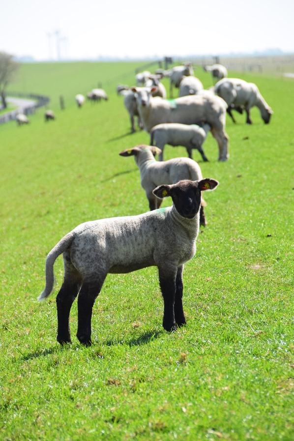 Nordsee Urlaub Schafe Deich Deichlamm Friedrichskoog Dithmarschen Schleswig-Holstein Deutschland