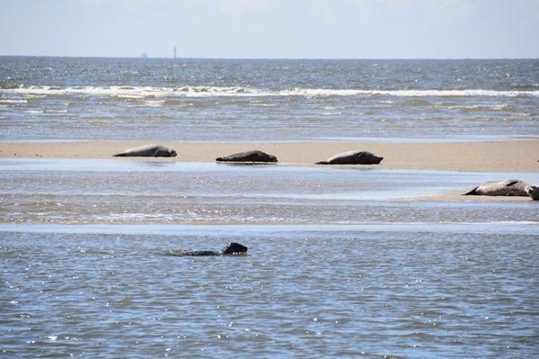 Schleswig Holstein Seehunde Kegelrobben Seehundsbank Büsum Dithmarschen Nordsee Urlaub