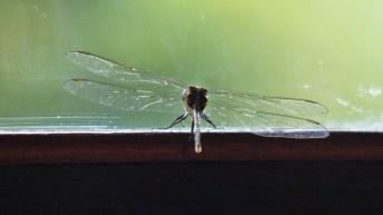 Die Libelle, die sich in Ubud (Bali) nur mal kurz niedergelassen hatte und gleich wieder weg war.