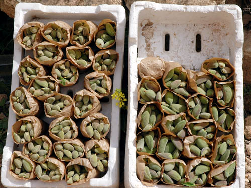 Green almonds at Jerash, Jordan. Photo by Ferrell Jenkins.