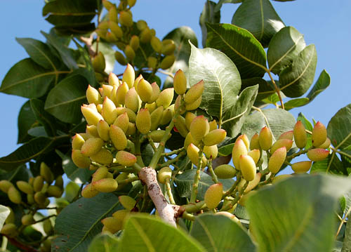 Pistachio's growing near Carchemish on the Euphrates. Photo by Ferrell Jenkins.