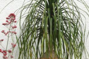 Elefantenfuss, Flaschenbaum (Beaucarnea recurvata syn. Nolina recurvata), Nahaufnahme