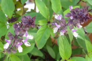 Thai Basilikum, Horapha (Ocimum basilicum var. thyrsiflorum) mit Blüte