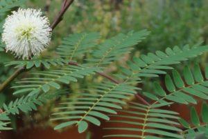 Weißkopfmimose, Leucaena leucocephala, Fiederblätter und Blüte