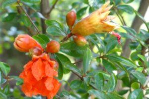 Punica granatum, Granatapfel