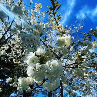 May be an image of flower, stone-fruit tree and nature