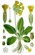 Primevère officinale
