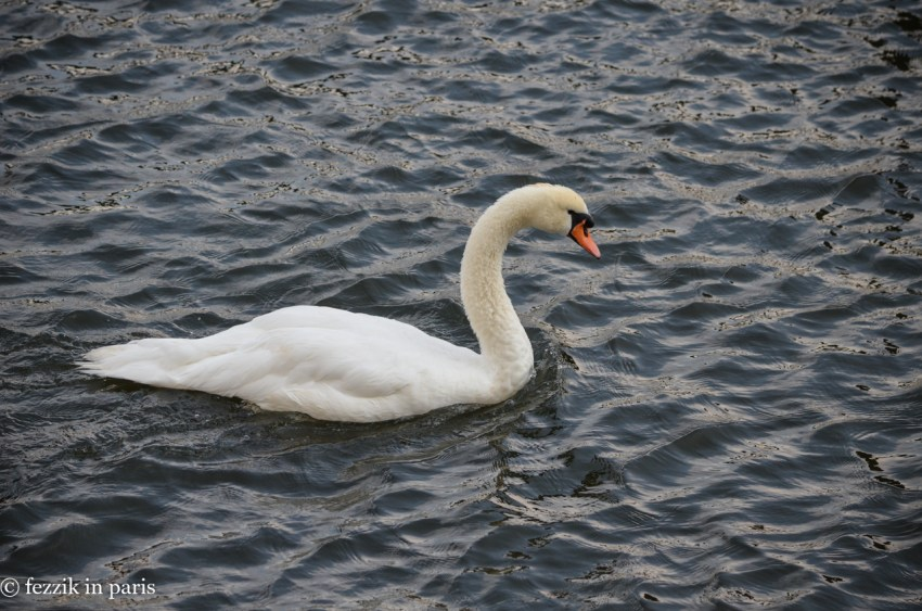 A swan, looking for something to beat the shit out of.