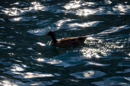 This duck damaged the Purrito's calm by loudly honking and circling the ferry we took between Valletta and Sliema.