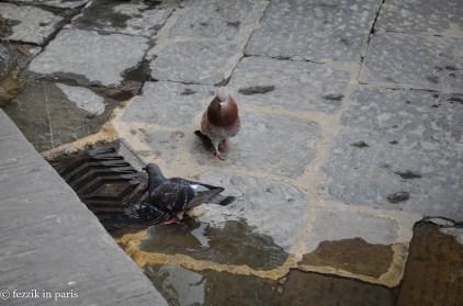 Florentine pigeons.