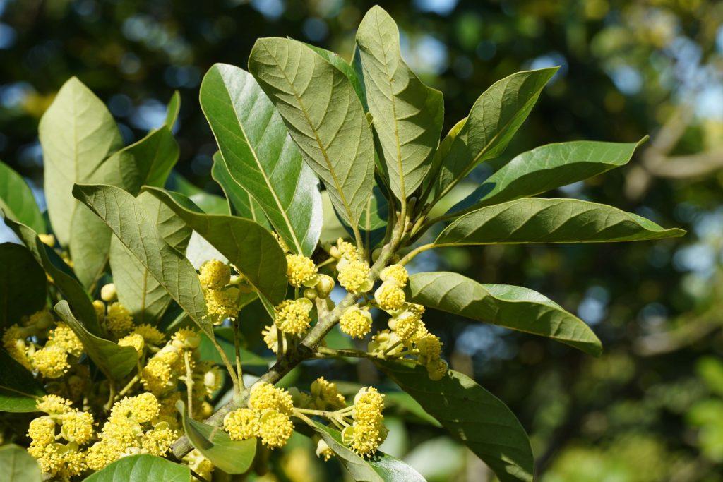 潺槁木薑子(花與葉) A6400 + E18-135 mm  67mm端 1/200  f6.3  iso 100  臺灣沒有,在金門拍的,是金門原生樹種的優勢物種。