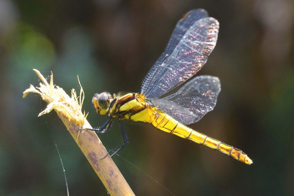鼎脈蜻蜓  雌  A6400 + E18-135 mm  135mm端  1/125  f11  iso 800  有沒有注意到,這支鏡頭真的可以很近的拍。攝於新北市坪林。