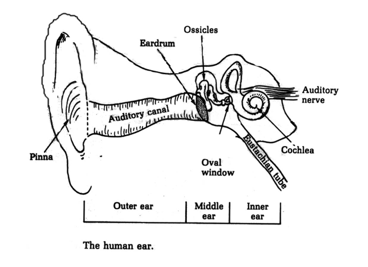 Ear Diagram Unlabeled