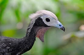 Pipile pipile (Trinidad Piping-guan or Pawi)