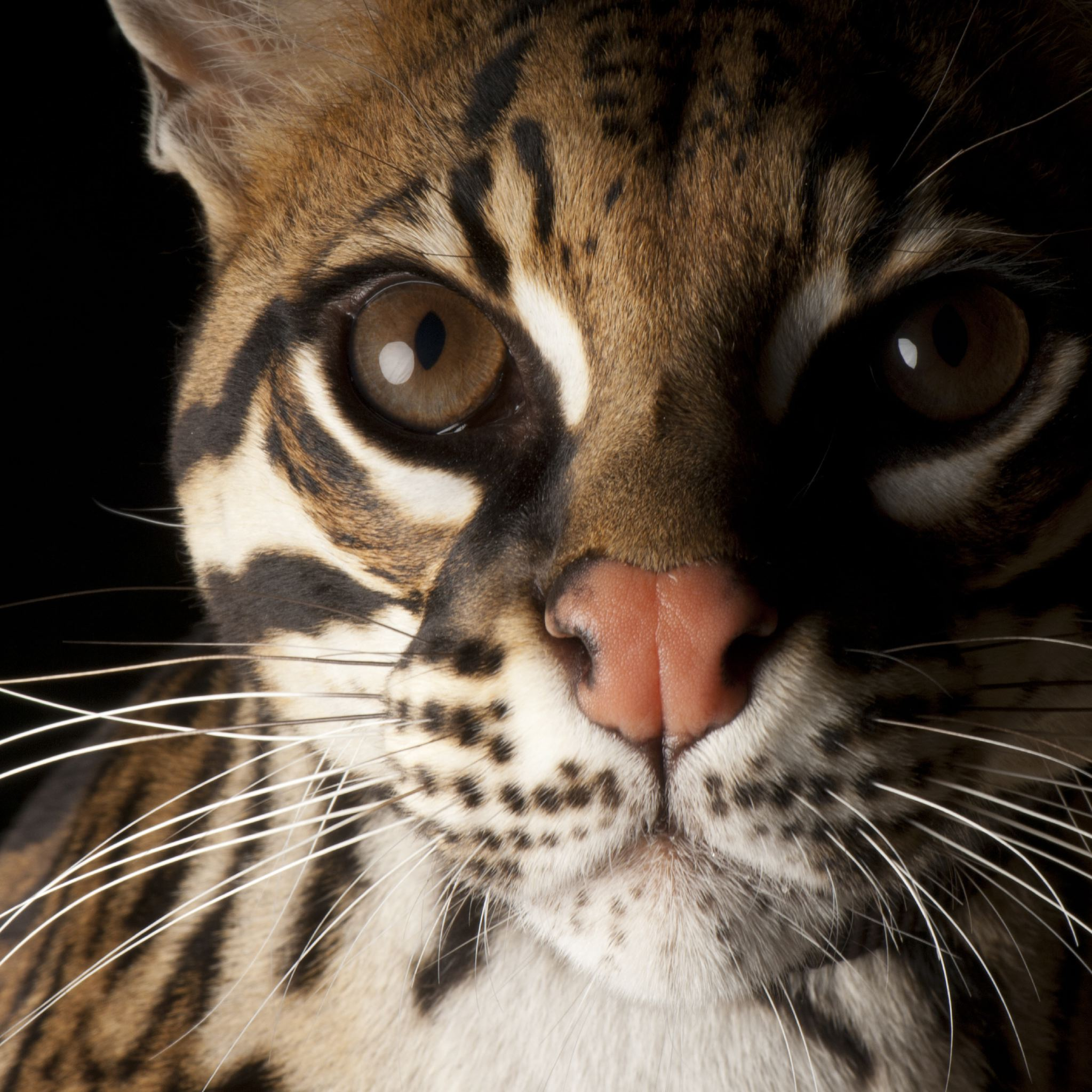 Who speaks for the Ocelot Tiger Cat?