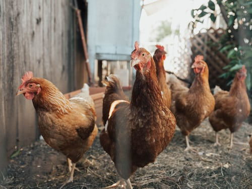 Are chickens silently killing us?