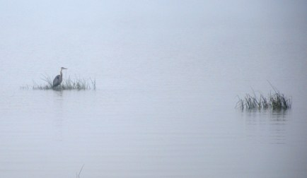 Great heron, foggy morning lake