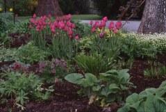 Red tulips under oak tree