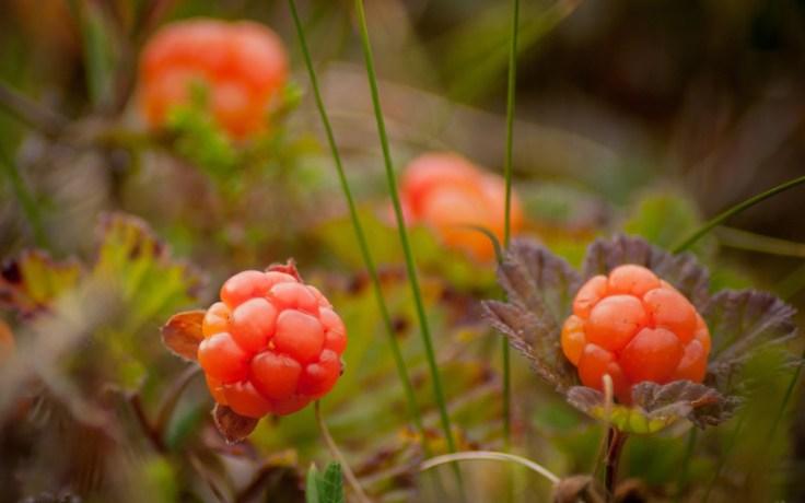cloudberries, a norwegian food