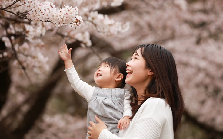 cherry blossoms in japan, a famous springtime sight