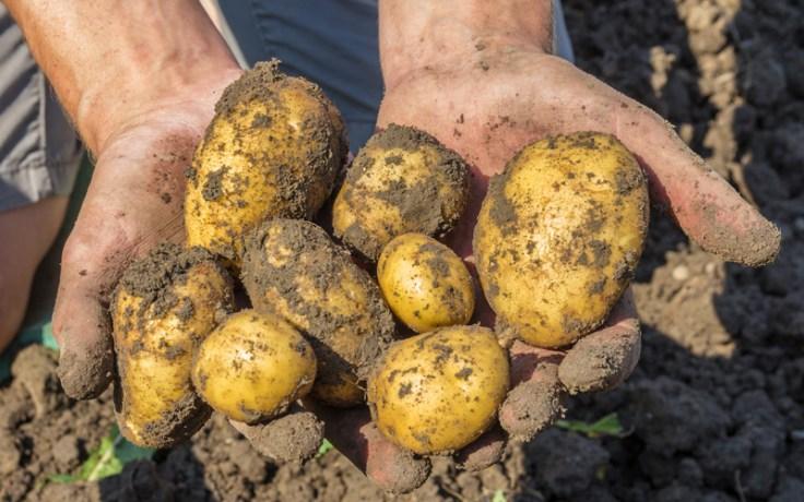 potatoes in a field.
