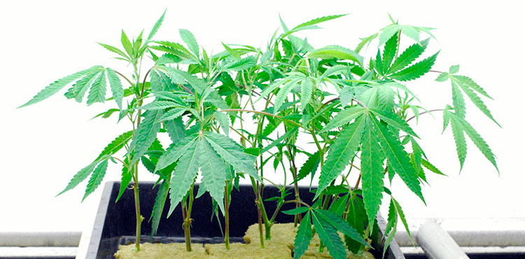 Young cannabis clones in a licensed Washington grow site.