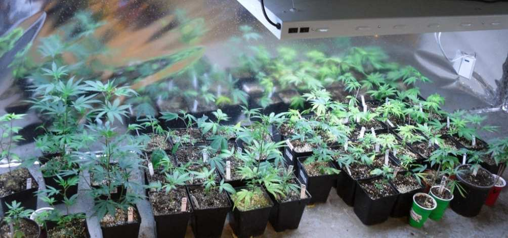 A collection of cannabis clones in the back room of a medical marijuana dispensary.