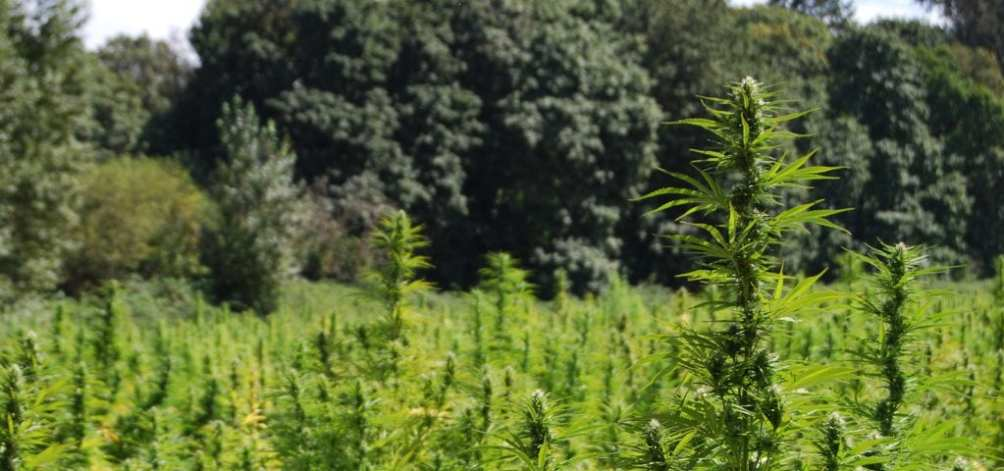 A medical cannabis grow operation pictured outdoors on a sunny day.
