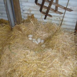 P1000946 resettled eggs