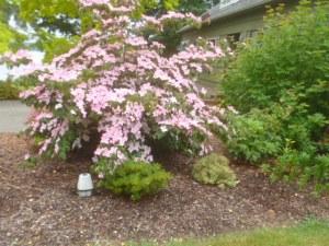 P1010770 pink dogwood