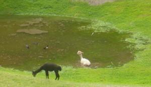 P1020001 alpaca in pond