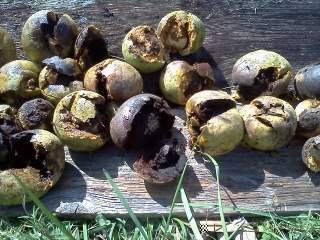 Black Walnuts smashed and ready to make a dye for yarn